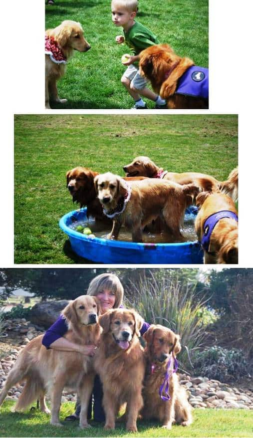 Norcal Golden Retriever Rescue Playday